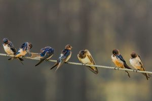 Swallows on a telephone wire by Hassan Pasha, Unsplash
